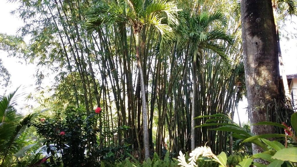 bamboo las.jpg